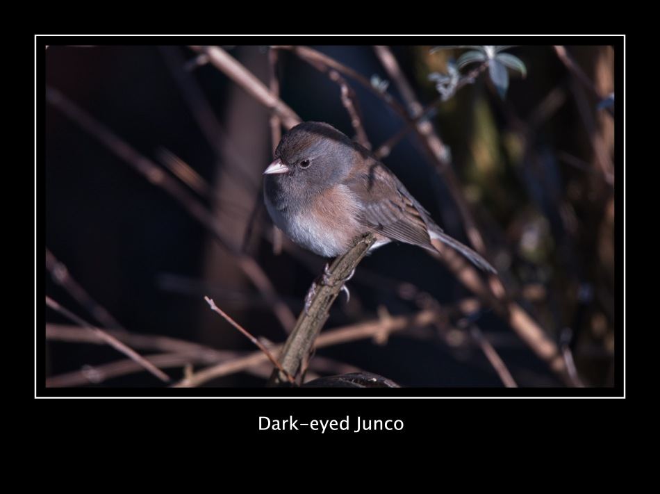 Dark-eyed Junco (f) 01-27.jpeg