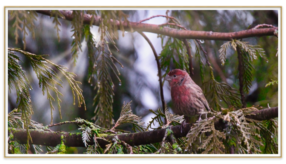 Purple finch in sun framed.jpeg