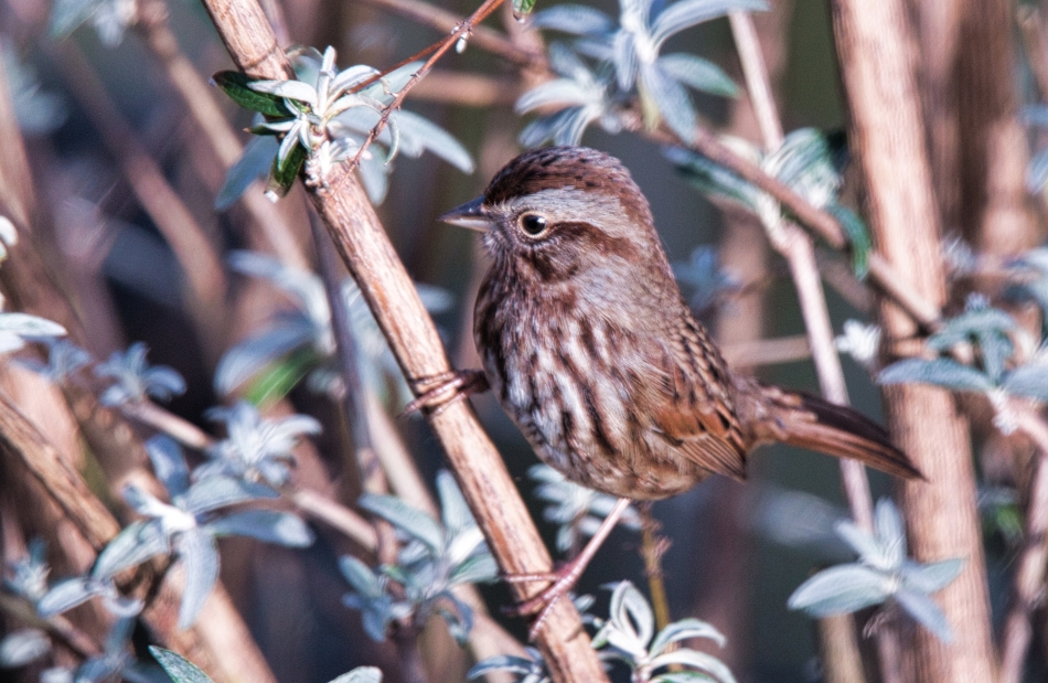 Song Sparrow.jpeg